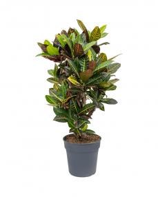 Croton Petra 110 cm