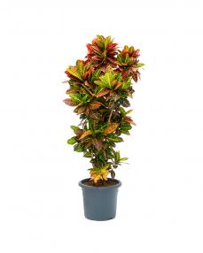 Croton Petra 190 cm