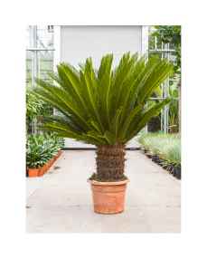 Cycas Revoluta 160 cm