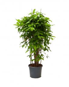 Dracaena Surculosa 130 cm