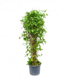 Dracaena Surculosa 190 cm