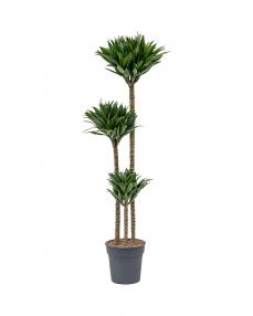 Dracaena Twist 120 cm
