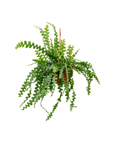 Epiphyllum Anguliger 50 cm