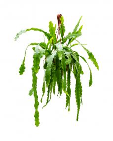 Epiphyllum Beavertail 50 cm