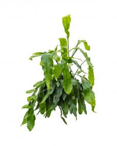 Epiphyllum Oxypeltatum 50 cm