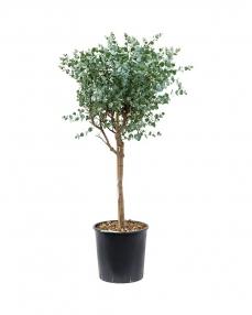 Eucalyptus Gunii 135 cm