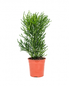 Euphorbia Tirucalli 80 cm