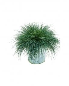 Festuca Glauca 40 cm