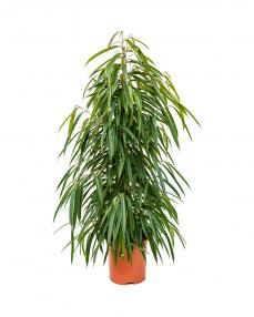 Ficus Alii 140 cm