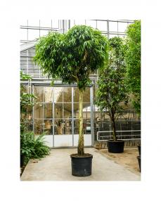 Ficus Alii 525 cm