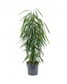 Ficus Alii 90 cm