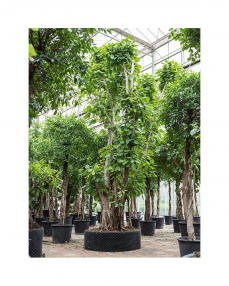 Ficus Altissima 700 cm