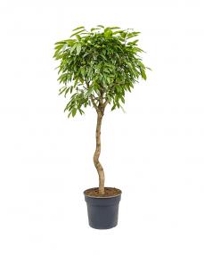 Ficus Amstel King 200 cm