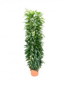 Ficus Amstel King 210 cm