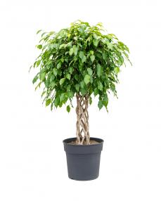 Ficus Benjamina 110 cm