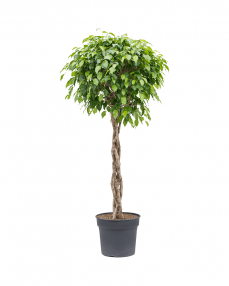 Ficus Benjamina 180 cm