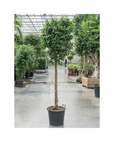Ficus Benjamina 225 cm