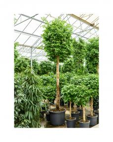 Ficus Benjamina 375 cm