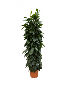 Ficus Cyathistipula 180 cm