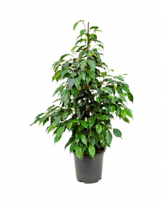 Ficus Danielle 100 cm