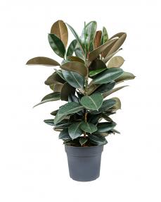 Ficus Elastica 110 cm