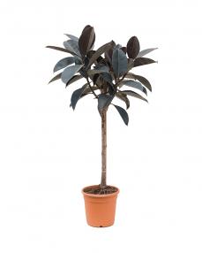 Ficus Elastica 120 cm