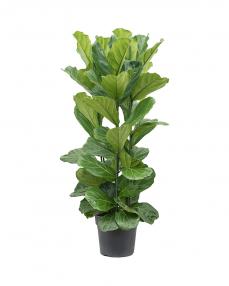 Ficus Lyrata 140 cm