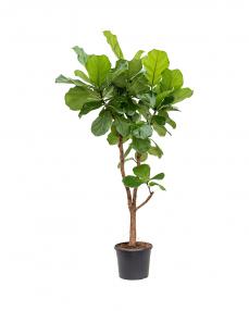 Ficus Lyrata 145 cm