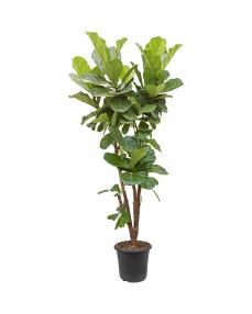 Ficus Lyrata 160 cm