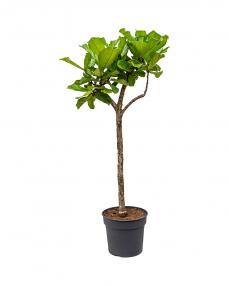 Ficus Lyrata 180 cm