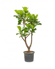 Ficus Lyrata 190 cm
