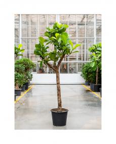 Ficus Lyrata 325 cm