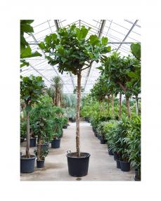 Ficus Lyrata 400 cm