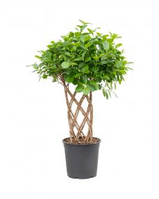 Ficus Moclame 100 cm