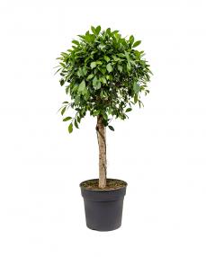 Ficus Nitida 140 cm