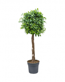 Ficus Nitida 170 cm