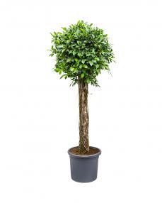 Ficus Nitida 200 cm