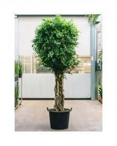 Ficus Nitida 300 cm