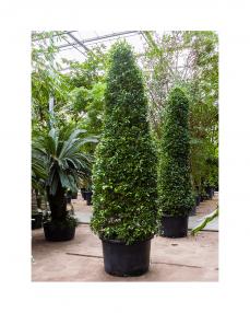 Ficus Nitida 425 cm