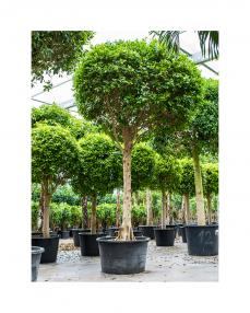 Ficus Nitida 450 cm