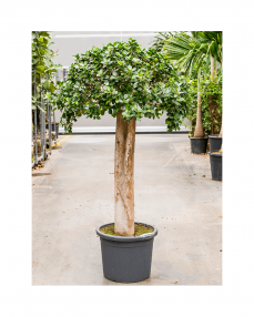 Ficus Panda 160 cm