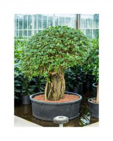 Ficus Panda 165 cm