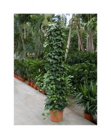 Hedera Montgommery
