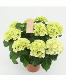 Hydrangea white 40 cm