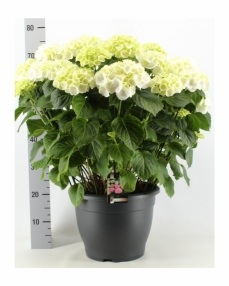 Hydrangea white 70 cm
