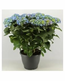 Hydrangea blue 70 cm