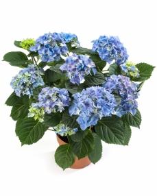 Hortensia rosita blue 40 cm