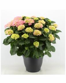Hydrangea rosita pink 70 cm