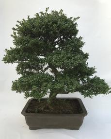 Ilex Crenata Bonsai 'Yixing' 110 cm