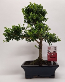 Ilex Outdoor Bonsai 35 cm